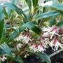 Christmas box...Sarcococca 'Digyna' (Sarcococca hookeriana (Sweet box))