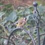 Garden_birds_007