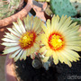 Twins (Astrophytum Capricorne)