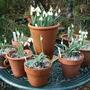 Table of Snowdrops