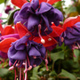 Fuchsia-Blue-Eyes