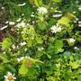 Garden_pics_2011_0xeye_daisy