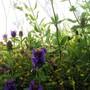 Garden_pics_2011_selfheal