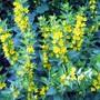 Garden_pics_2011_yellow_loosestrife