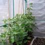 Tomato plants Sungold