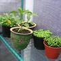 Garden_pics_2013_herb_pots