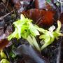 Jan 26th 2014 winter aconite (Eranthis hyemalis (Winter aconite))