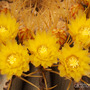Kika (Ferocactus Glaucescens)