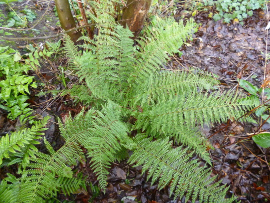 a happy fern (Polystichum polyblepharum 'Jade')