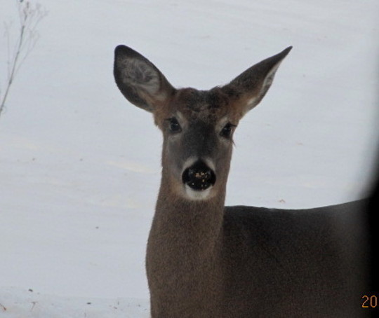 hungry young whitetail