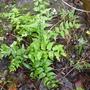 Cyrtomium fortuneii (Cyrtomium fortuneii)