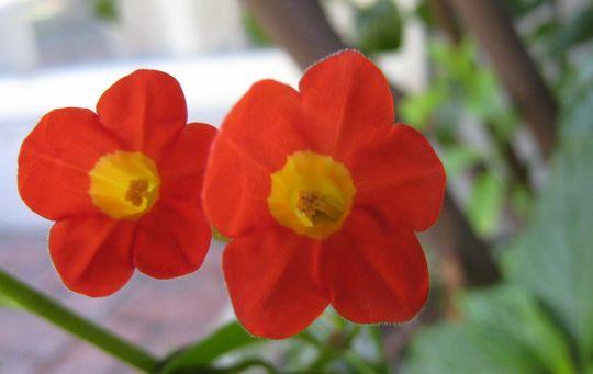 Brunfelsia nyctaginoides (Brunfelsia nyctaginoides)
