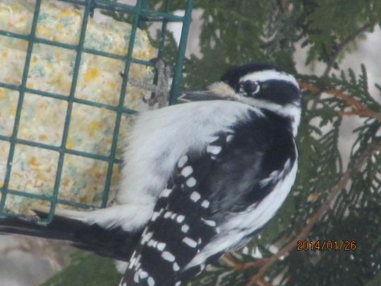 Woodpecker sampling suet.