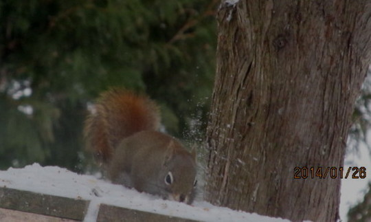 Squirrel digging for his dinner