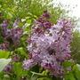 A garden flower photo (Syringa vulgaris)