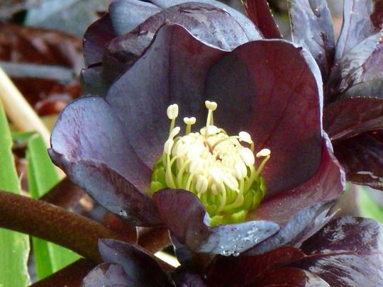 Helleborus        Queen-of-Spades