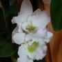 Dendrobium_orchid