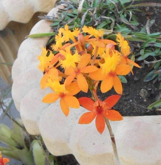 Epidendrum radicans orchid