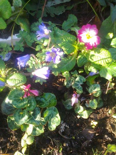 Anemone,primrose and cyclamen