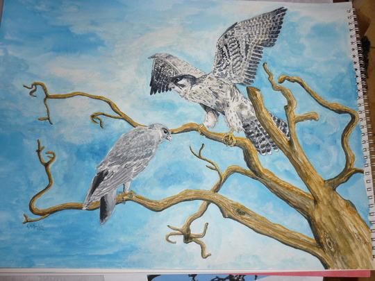 Adult and young of the Belper Peregrines My latest watercolour.
