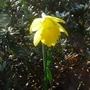 Narcissus_cedric_morris_2014