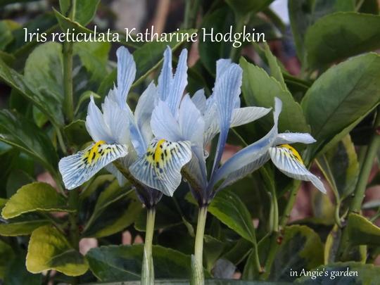 Iris reticulata Katharine Hodgkin (Iris 'Katharine Hodgkin')