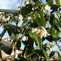 Record of Clematis `Winter beauty`