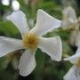 Trachelospermum asiaticum (Teikakazura)