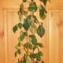 7_cissus_rhombifolia