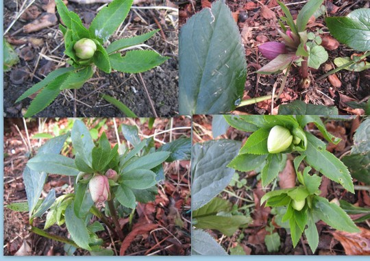 Helebores from a lovely Goy member. (Helleborus)