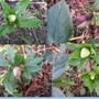 Helebores_collage