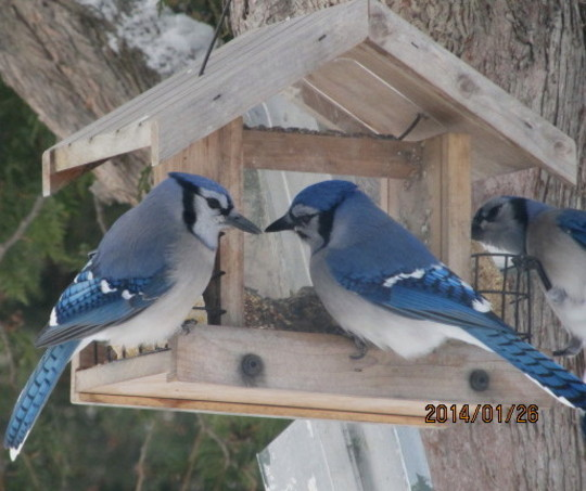 More Bluejays for Terratoonie
