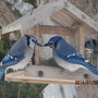 More Bluejays for Terratoonie