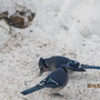 Bluejay cloud descends to the ground