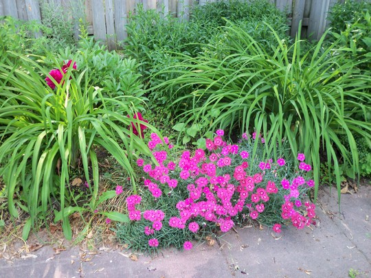 I believe this is called dianthus.Sometimes I lose track of the names of the plants--it's hard to remember them all.