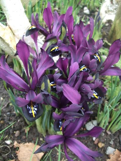Iris reticulata 'George' (Iris reticulata (Iris))