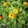 Pot Marigolds (Calendula officinalis (English marigold))