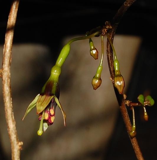 Fuchsia perscandens (Fuchsia Perscandens)