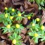 winter aconites (Eranthis hyemalis (Winter aconite))