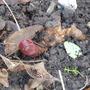 Paeonia mascula (Balkan Peony)