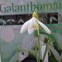 G. Sandersii  (Galanthus sandersii)