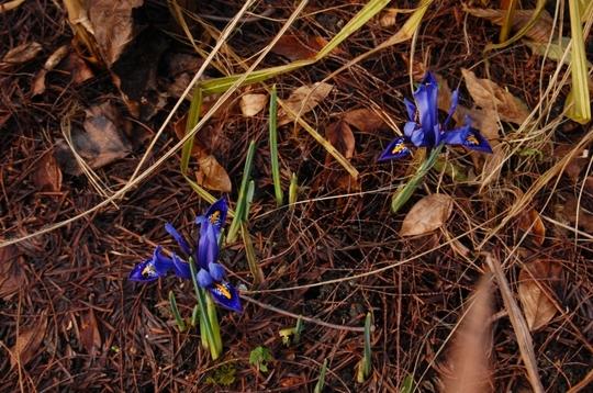 """Iris """"Clairette"""" (Iris reticulata (Iris))"""