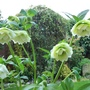 PEEPING past the Hellebores ...