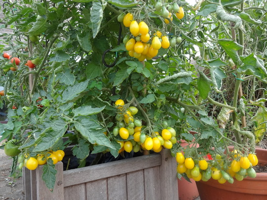 yellow plum tomatoes in August 2013