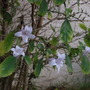 Mackaya bella - Forest Bell Bush (Mackaya bella - Forest Bell Bush)