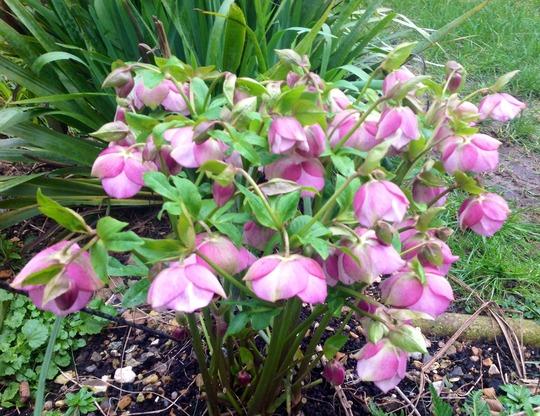 Hybrid hellebores (Helleborus orientalis (Lenten rose))
