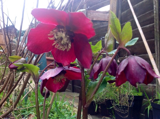 Red hellebore (Helleborus orientalis (Lenten rose))