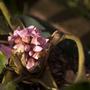 Rescued bergenia (Bergenia cordifolia (Elephant's ears))