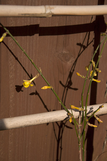 Jasminum nudiflorum (Jasminum nudiflorum (Winter jasmine))