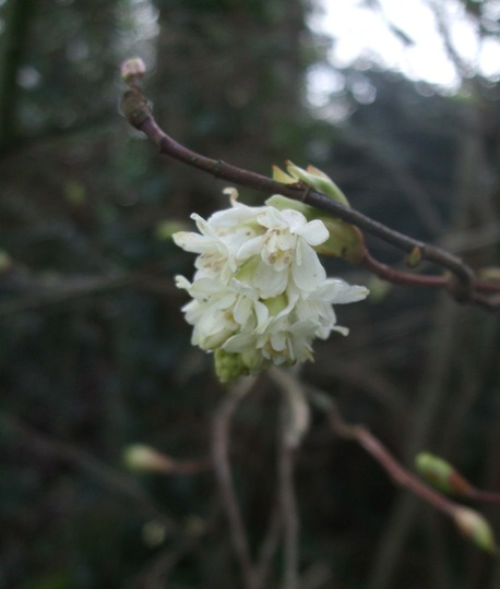 Ribes sanguineum 'White Icicle' (Ribes sanguineum 'White Icicle')